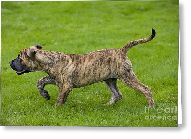 Dog Walking Greeting Cards - Boerboel Puppy Dog Greeting Card by Johan De Meester