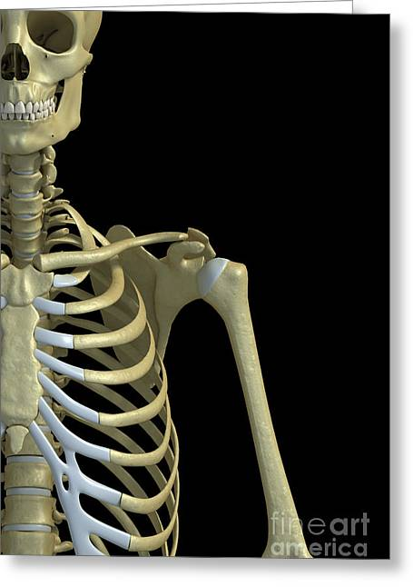 Rib Cage Greeting Cards - Bones Of The Chest And Arm Greeting Card by Science Picture Co