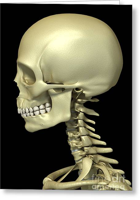 Vertebra Greeting Cards - Bones Of The Head And Neck Greeting Card by Science Picture Co