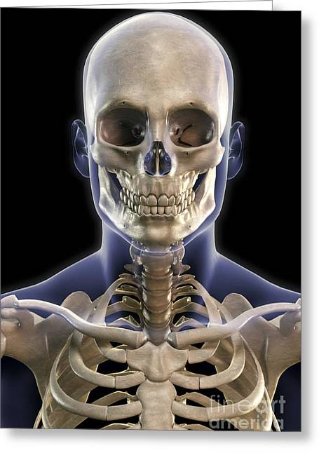Cervical Vertebrae Greeting Cards - Bones Of The Head And Upper Thorax Greeting Card by Science Picture Co