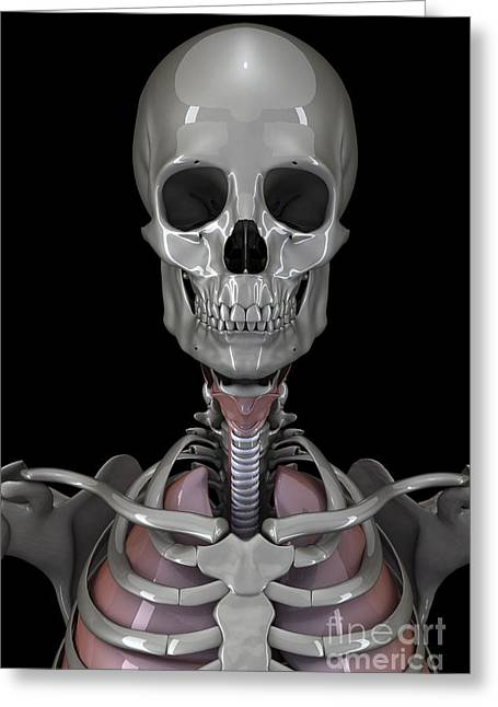 Notched Collar Greeting Cards - Bones Of The Head Greeting Card by Science Picture Co