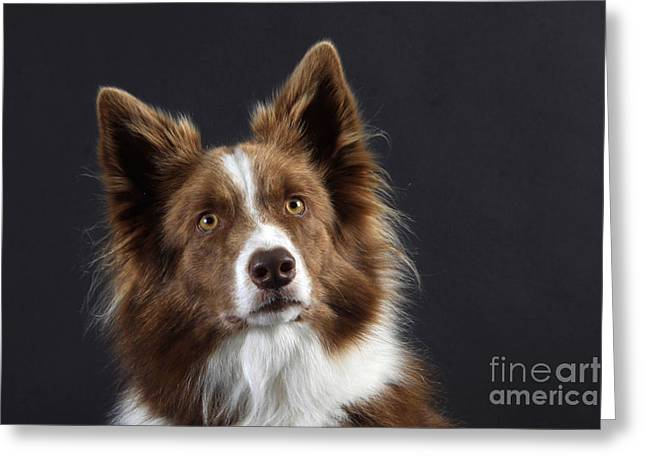 Canid Greeting Cards - Border Collie Dog Greeting Card by Christine Steimer