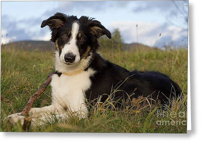 Collie Mixed Media Greeting Cards - Border Collie Greeting Card by Marvin Blaine
