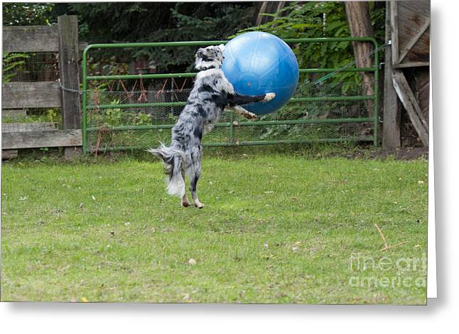 Dog Playing Ball Greeting Cards - Border Collie Playing Catch Greeting Card by William H. Mullins
