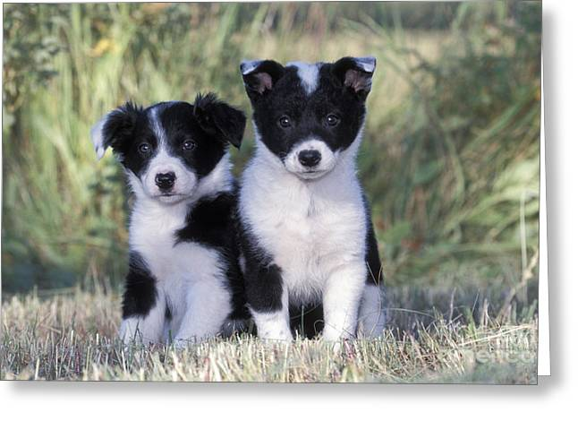 Best Friend Greeting Cards - Border Collie Puppies Greeting Card by Rolf Kopfle