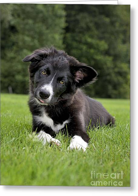 Head Tilt Greeting Cards - Border Collie Puppy Dog Greeting Card by Johan De Meester