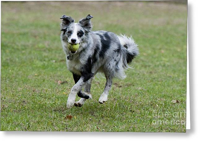 Dog With Tennis Ball Greeting Cards - Border Collie Retrieving A Ball Greeting Card by William H. Mullins