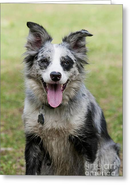 Panting Dog Greeting Cards - Border Collie Greeting Card by William H. Mullins