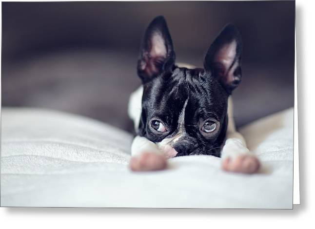 Cute Greeting Cards - Boston Terrier Puppy Greeting Card by Nailia Schwarz