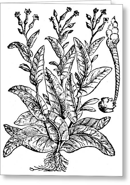 Botany Tobacco, 1576 Greeting Card by Granger