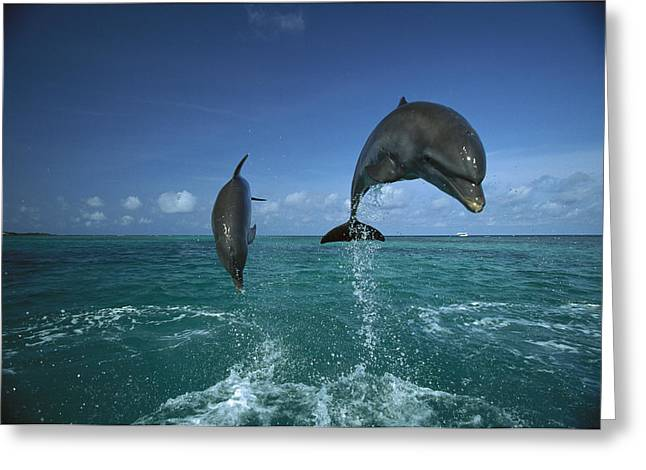 Delphinidae Greeting Cards - Bottlenose Dolphins Leaping Honduras Greeting Card by Konrad Wothe