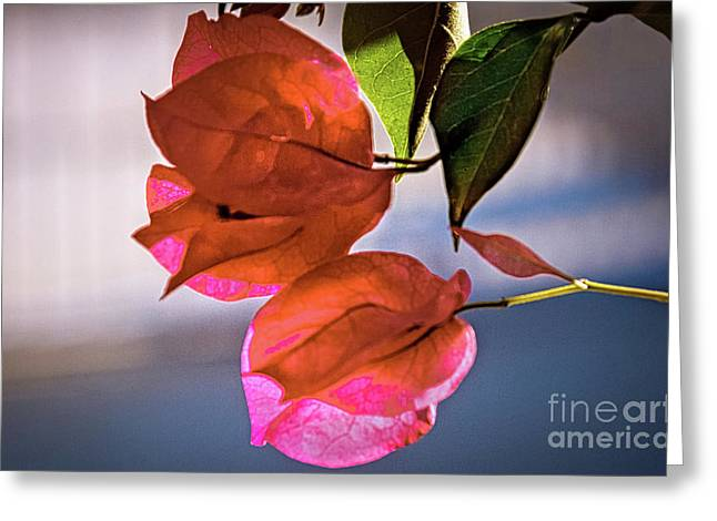 Pink Flower Branch Greeting Cards - Bougainvillea Greeting Card by Robert Bales