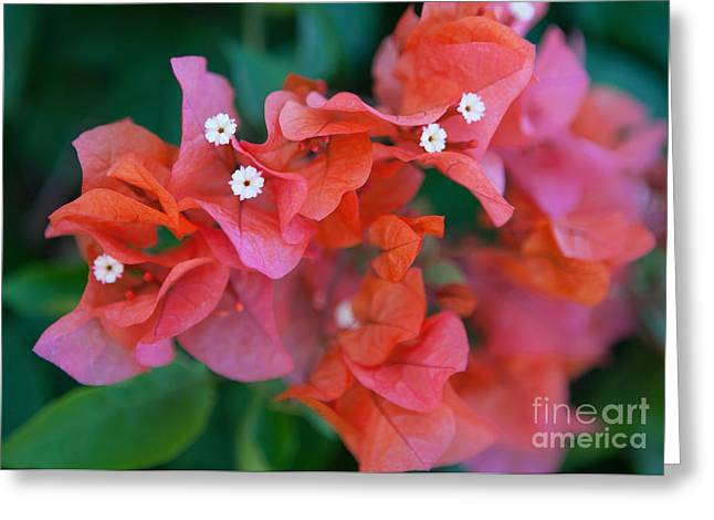 Special Occasion Greeting Cards - Bougainvillea Greeting Card by Roselynne Broussard
