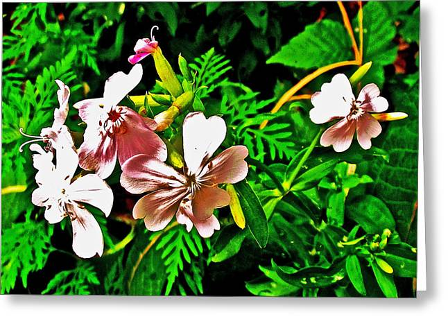 Indiana Flowers Greeting Cards - Bouncing  Bet in Indiana Dunes National Lakeshore Greeting Card by Ruth Hager