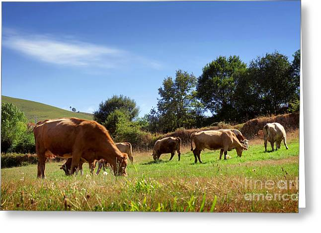 Spring Scenes Greeting Cards - Bovine Cattle  Greeting Card by Carlos Caetano