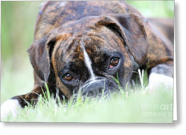 Dog Photographs Greeting Cards - Boxer dog Greeting Card by Jana Behr
