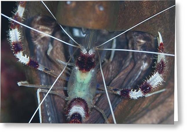 Boxer shrimp cleaning in mouth of eel Greeting Card by Science Photo Library