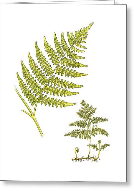 Pteridium Greeting Cards - Bracken (Pteridium aquilinum), artwork Greeting Card by Science Photo Library