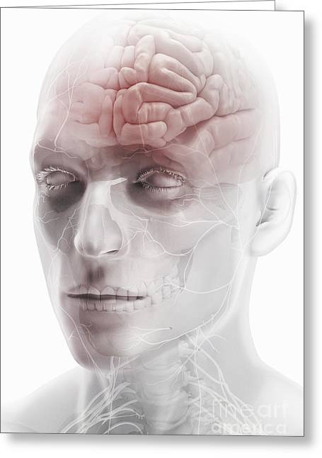 Temporal Bone Greeting Cards - Brain And Nerves Of The Head Greeting Card by Science Picture Co