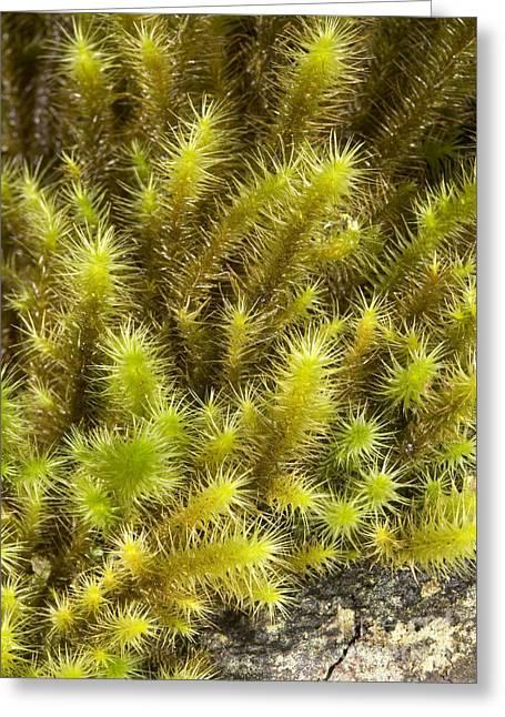 Moss Green Greeting Cards - Breutelia Pendula Moss Greeting Card by Bob Gibbons