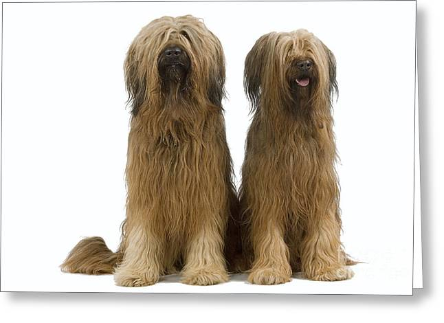 Breeds Greeting Cards - Briard Dogs Greeting Card by Jean-Michel Labat