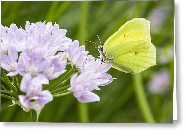 Brimstone Butterfly On A Flower Greeting Card by Chris Smith