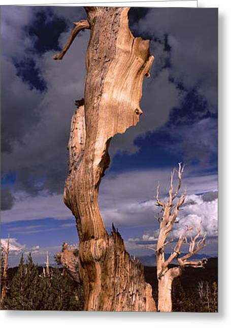 White Pine County Greeting Cards - Bristlecone Pine Trees Pinus Longaeva Greeting Card by Panoramic Images