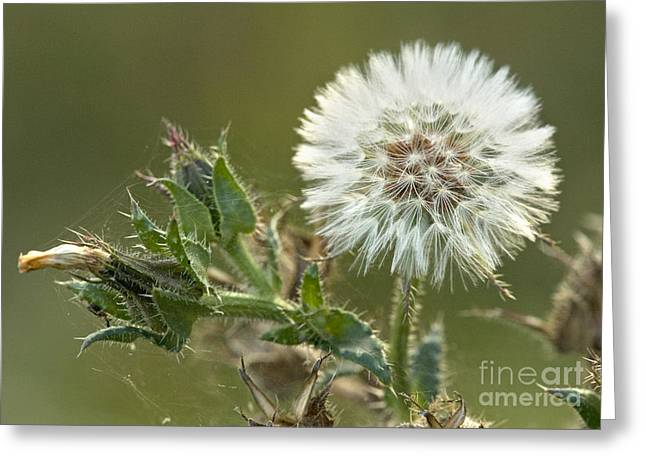 Achene Greeting Cards - Bristly Ox-tongue Seed Head Greeting Card by Bob Gibbons