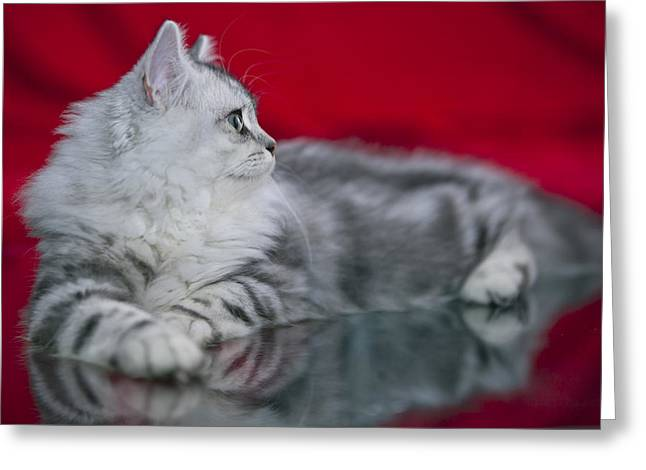 Familiar Greeting Cards - British Longhair Kitten Greeting Card by Melanie Viola
