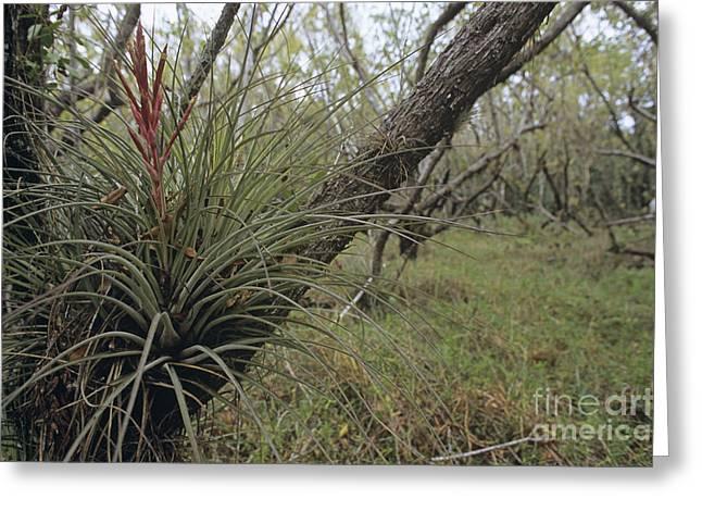 Florida Flowers Greeting Cards - Bromeliad Greeting Card by Alan Sirulnikoff