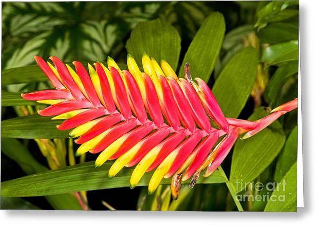 Epiphyte Greeting Cards - Bromeliad Blossom - Tillandsia Greeting Card by Millard H. Sharp