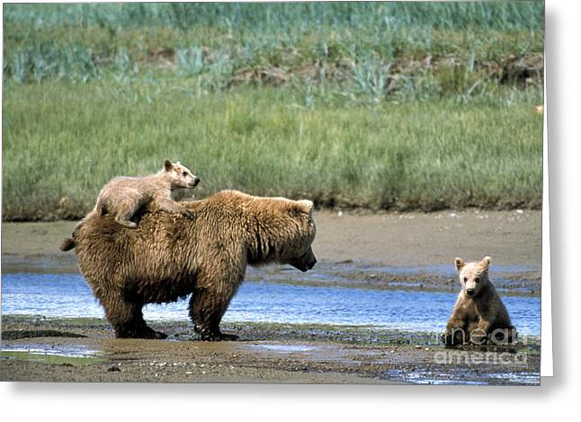 Mother And Young Greeting Cards - Brown Bear And Cubs Greeting Card by Mark Newman