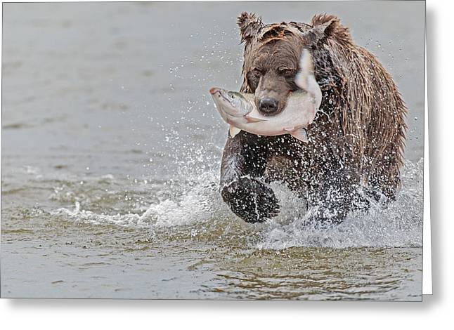 Fishing Creek Greeting Cards - Brown Bear with Salmon catch  Greeting Card by Gary Langley