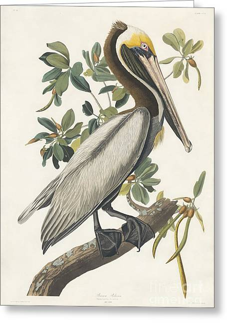 Wild Life Drawings Greeting Cards - Brown Pelican Greeting Card by Celestial Images
