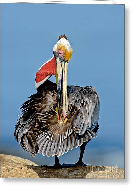 Squeezing Greeting Cards - Brown Pelican Preening Greeting Card by Anthony Mercieca