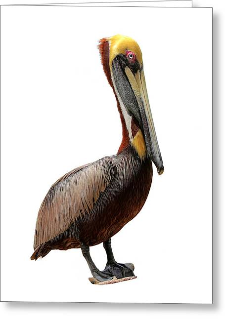 Seabirds Greeting Cards - Brown Pelican-7 Greeting Card by Rudy Umans