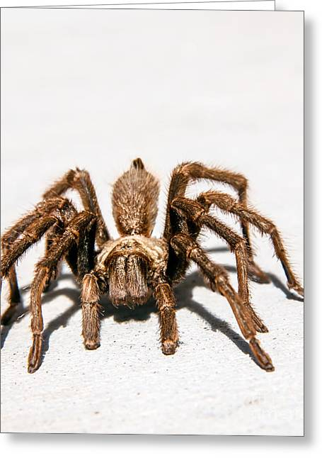 Haybales Greeting Cards - Brown Tarantula Greeting Card by Robert Bales