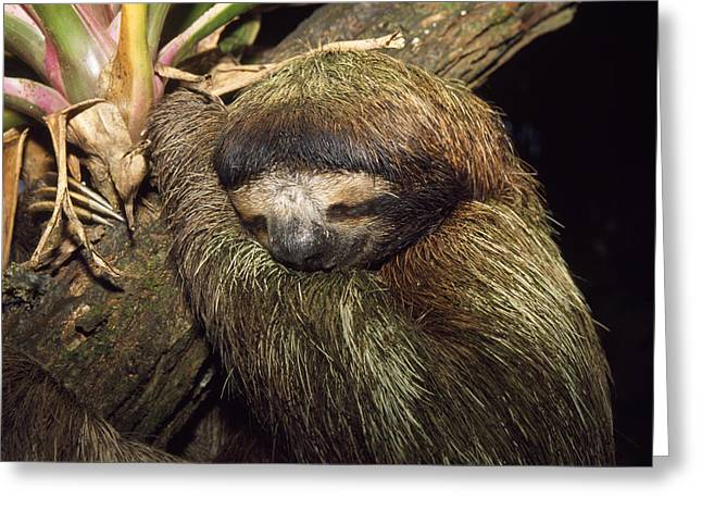 Brown-throated Three-toed Sloth Greeting Card by M. Watson