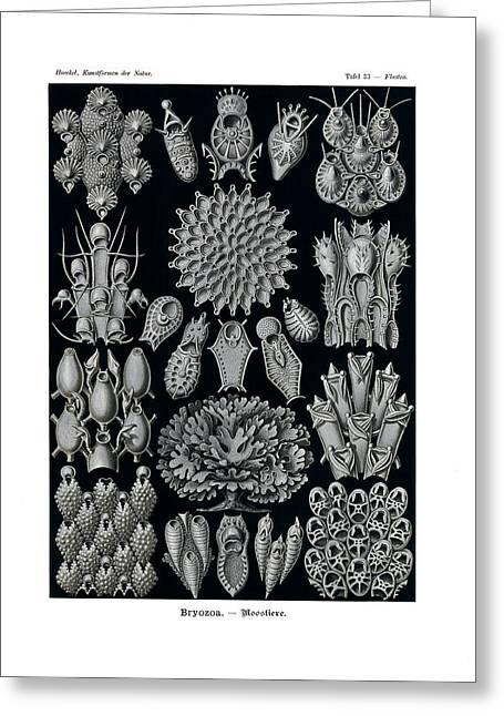 Bryozoa Greeting Card by Ernst Haeckel
