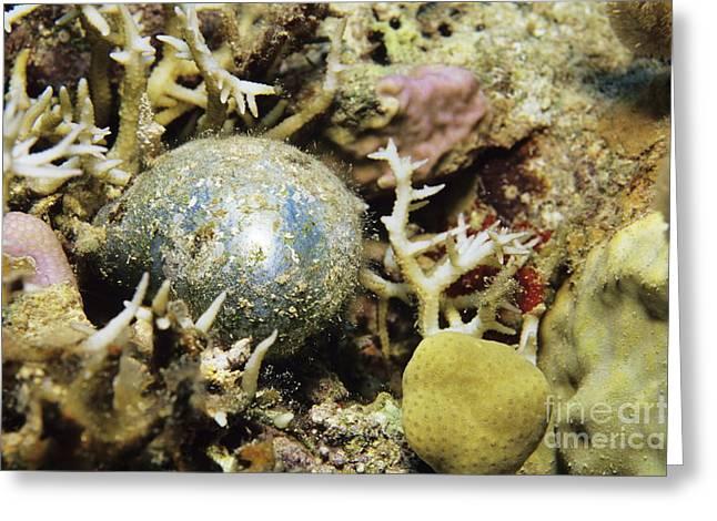 Algae Greeting Cards - Bubble Alga Greeting Card by Alexis Rosenfeld