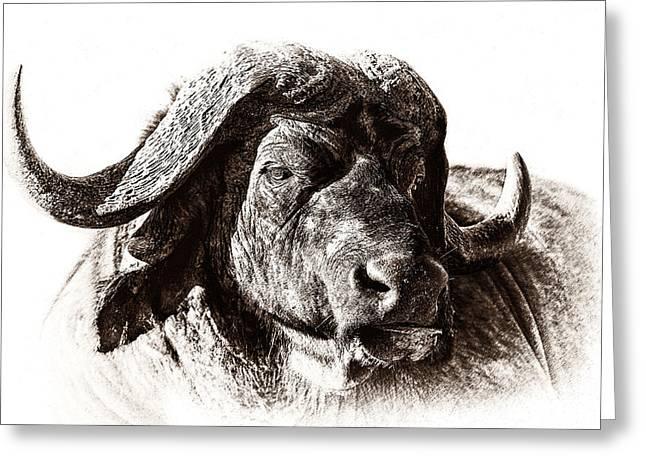 Buffalo Sketch Greeting Card by Mike Gaudaur