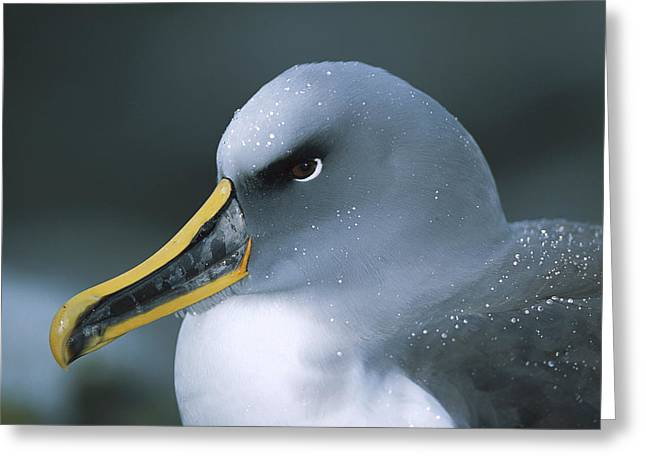 Diomedeidae Greeting Cards - Bullers Albatross With Colorful Bill Greeting Card by Tui De Roy