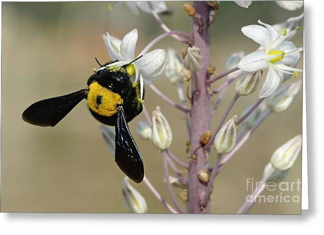 Eating Entomology Greeting Cards - Bumblebee On Sea Squill Flowers Greeting Card by PhotoStock-Israel
