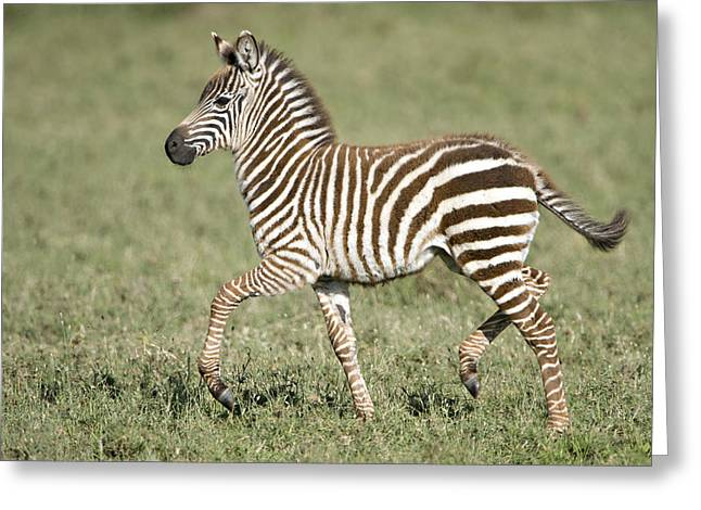 Zebra Colt Greeting Cards - Burchells Zebra Equus Quagga Burchellii Greeting Card by Panoramic Images