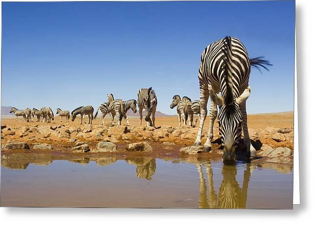 Burchells Zebras At Waterhole Namibrand Greeting Card by Theo Allofs