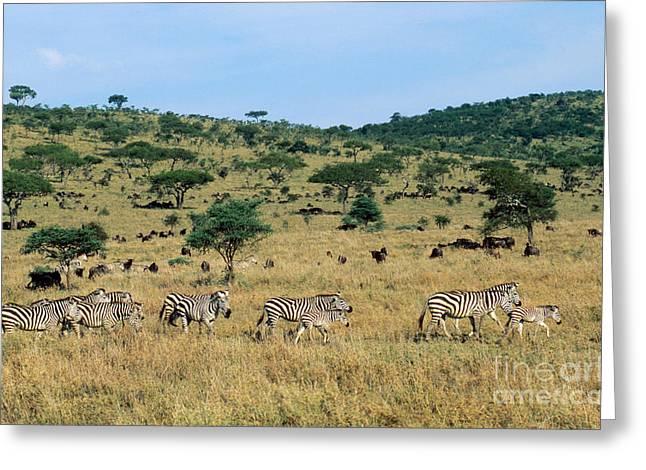 On The Plains Greeting Cards - Burchells Zebras Equus Burchelli Greeting Card by Gregory G. Dimijian, M.D.