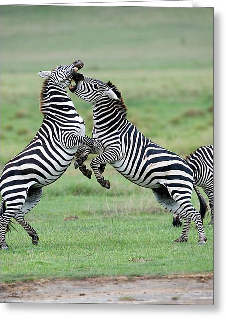 Wild Behavior Greeting Cards - Burchells Zebras Equus Burchelli Greeting Card by Panoramic Images