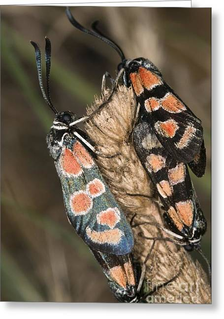 Invertebrates Greeting Cards - Burnet Moths Mating Greeting Card by Paul Harcourt Davies