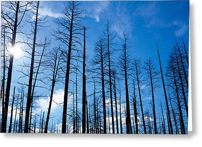 North Rim Greeting Cards - Burnt Pine Trees In A Forest, Grand Greeting Card by Panoramic Images