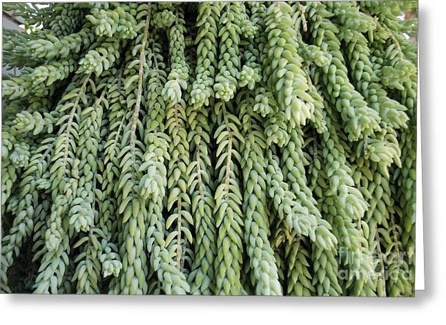 Burros Greeting Cards - Burros Tail Foliage Greeting Card by PhotoStock-Israel